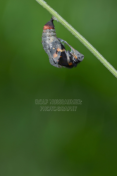Bordered Patch (Chlosyne lacinia), butterfly emerging from chrysalis, series, Hill Country, Central Texas, USA