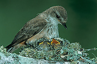 Vermillion Flycatcher, Pyrocephalus rubinus,female with young in nest, Lake Corpus Christi, Texas, USA