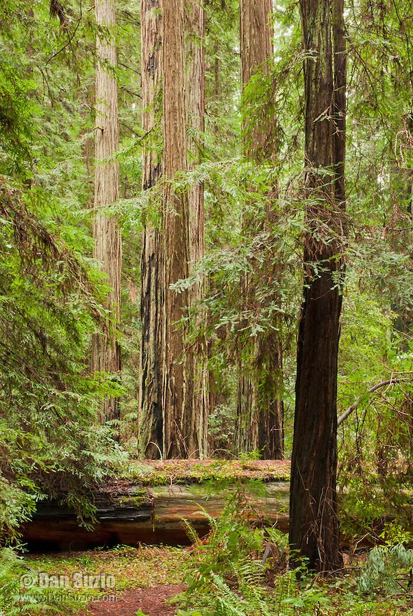 Fallen trunk of a coast redwood, Sequoia sempervirens, in Big Hendy Grove, Hendy Woods State Park, California