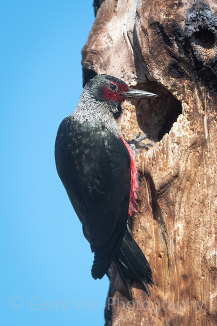 Lewis's Woodpecker (Melanerpes lewis). Deschutes County, Oregon. May.
