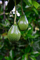 Kenya, green fruit of Avocado tree / KENIA, gruene Frucht des Avocado Baum