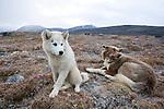 Huskies in Qikiqtarjuaq, Nunavut, Baffin Island, Northern Canada.