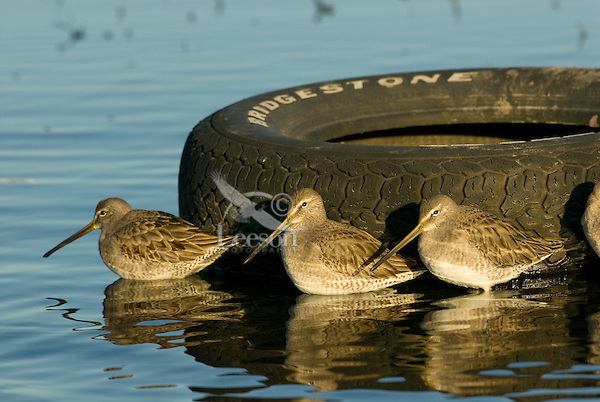 Long-billed Dowitchers (Limnodromus scolopaceus) seeking warnth and shelter by old discarded tire.   Pacific Northwest.  Winter.