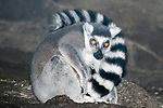 ring-tailed lemur full body view