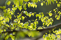 Birkenblätter im Frühling, Blattaustrieb im Frühjahr, Birke, Hänge-Birke, Sand-Birke, Hängebirke, Sandbirke, Weißbirke, Blatt, Blätter, Betula pendula, European White Birch, Silver Birch, warty birch, birch, leaf, leaves, Le bouleau verruqueux, bouleau blanc