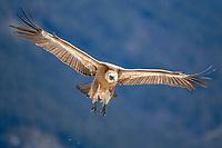 Griffon Vulture (Gyps fulvus), in flight, Pyrenees, Torla, Aragon, Spain, Europe