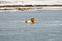 Baby Feet. This cub is playing in the icy water off Barter Island. Every fall, polar bears gather near the community of Kaktovik, Alaska, on the northern edge of ANWR, waiting for the Arctic Ocean to freeze. The bears have become a symbol of global warming.