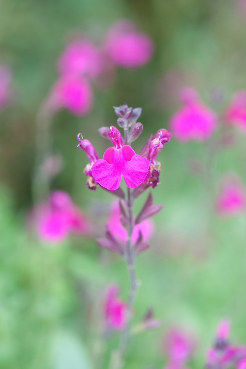 Salvia x jamensis 'Raspberry Royale', early September.
