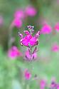 Salvia x jamensis 'Raspberry Royale', early September.