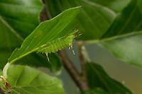 Nagelfleck, Raupe frisst an Buche, Aglia tau, Tau Emperor, caterpillar, La Hachette, Chenille, Pfauenspinner, Saturniidae