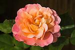DISTANT THUNDER ROSE, ROSA HYBRID, MODERN SHRUB
