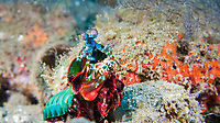 peacock mantis shrimp, harlequin mantis shrimp, painted mantis shrimp, or clown mantis shrimp, Odontodactylus scyllarus