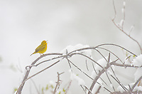 Male Yellow Warbler (Dendroica petechia) singing after spring snow.  Western U.S., May