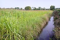 - Milano, Parco Agricolo Sud, campo di granoturco<br /> <br /> - Milan,  Agricultural Park South, cornfield