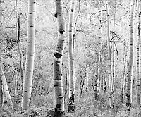 Aspens on Owl Creek Pass road.<br /> <br /> Mamiya RB6 Pro SD, 180mm lens, Kodak TMAX 100 film