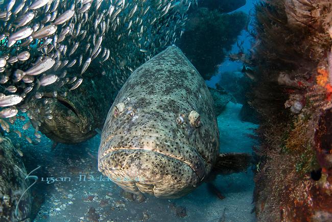 Atlantic goliath groupers in bait fish, endangered species, Epinephelus itajara, Goliath Groupers and bait balls, itajara, IUCN Red List vulnerable, jewfish, sardines, spawning event, MG111, Jupiter, FL