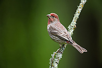 House Finch (Carpodacus mexicanus). Oregon. April.