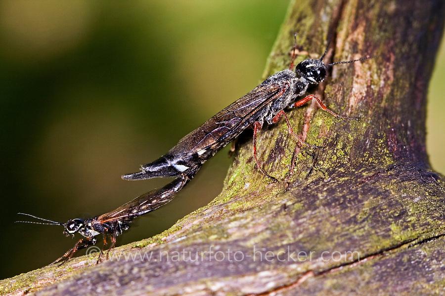 Erlen-Schwertwespe, Schwertwespe, Paarung, Kopulation, Xiphydria camelus, Alder Wood-Wasp, Xiphydriidae, Schwertwespen
