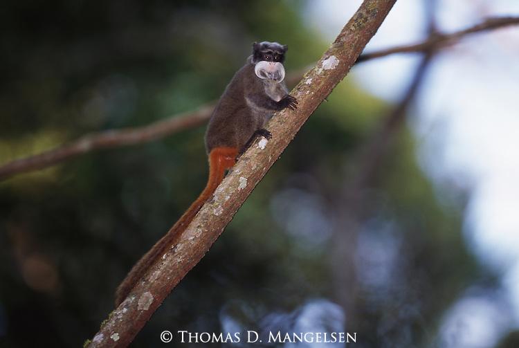 An emperor tamarin climbs a tree in Manu National Park, Peru.