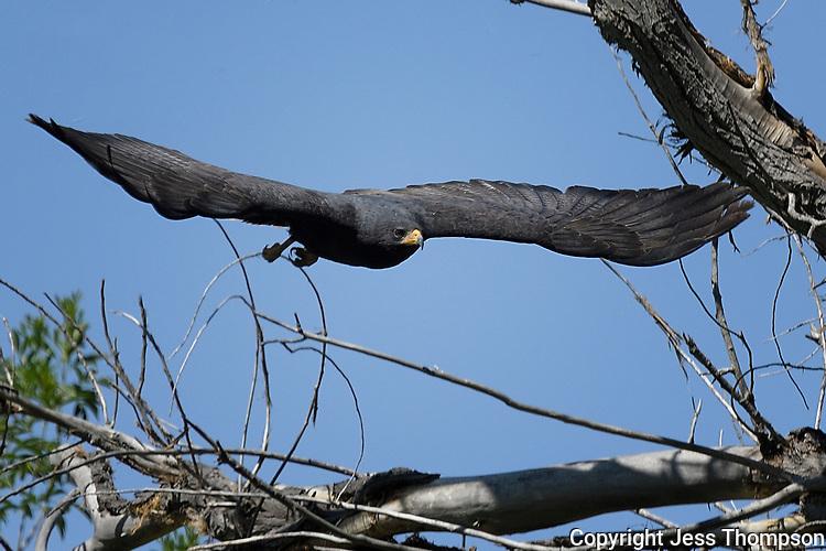 Common Black Hawk in flight, Big Bend National Park, Texas
