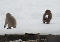 Japanese macaque, a.k.a. Snow Monkey, at Jigokudani (Hell Valley) in Nagano Prefecture, Japan. Japanese snow monkeys live in extreme conditions where winter temperatures can drop to -20 c, and they are unique in taking hot bath, known as an Onsen..18 Jan 2011