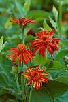10625-CM Mexican Flame Vine, Pseudogynoxys chenopodioides (i.e. Senecio confusus) `Sao Paulo', flowers, foliage, at Azusa, CA USA.