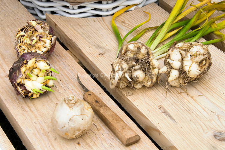 Dividing Hyacinth spring bulbs after bloom, with knife and cut open bulb