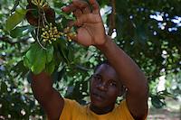 Zanzibar, Tanzania.  Picking Cloves on a Clove Plantation.