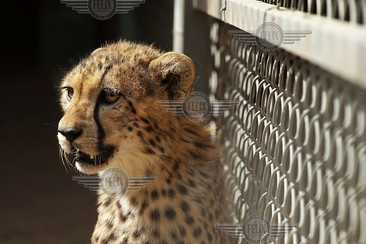 A cheetah in captivity at the National Wildlife Research Centre, rescued after it was smuggled illegally into the country.