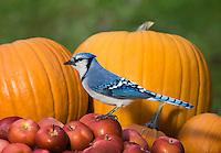 Blue Jay (Cyanocitta cristata) in autumn backyard with pumpkin and MacIntosh apples. Nova Scotia. Canada.