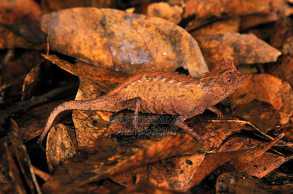.Plated Leaf Chameleon  (Brookesia stumpffi), camouflaged on dead leaves, Ankarana National Park, Northern Madagascar.