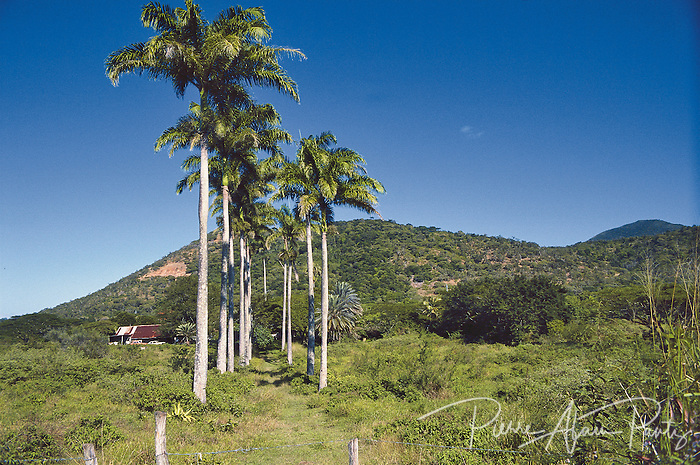 Païta, palmiers royaux