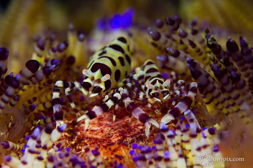 Coleman shrimp (Periclimenes colemani). The Coleman shrimp are found in fire urchins where they find protection from predators and get a free ride.