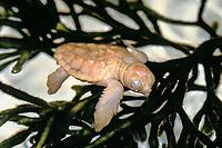 loggerhead sea turtle, Caretta caretta, hachling,  a rare leucistic turtle, Palm Beach, Florida, USA, Atlantic Ocean