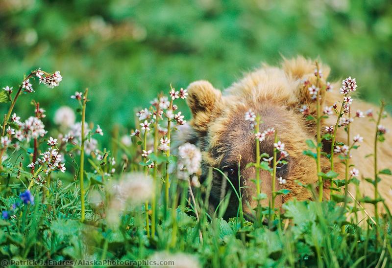 Grizzly bear peeks through the blossoms of  bearflowers, on the summer tundra, Denali National Park, Alaska