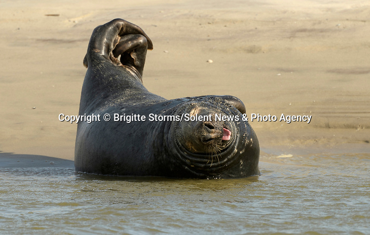 Pictured:   A group of seals appear to limber up on a beach and stretch themselves out in yoga-like poses.<br /> <br /> The grey and harbour seals come onto the sandy shore to rest before heading back out to sea to hunt.<br /> <br /> Professional photographer and nurse Brigitte Storms spotted the flexible animals in the Bay of the Somme in France.  SEE OUR COPY FOR FULL DETAILS.<br /> <br /> <br /> Please byline: Brigitte Storms/Solent News<br /> <br /> © Brigitte Storms/Solent News & Photo Agency<br /> UK +44 (0) 2380 458800