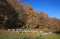 An apiary in Isère (FRANCE) in autumn with a forest in the background.