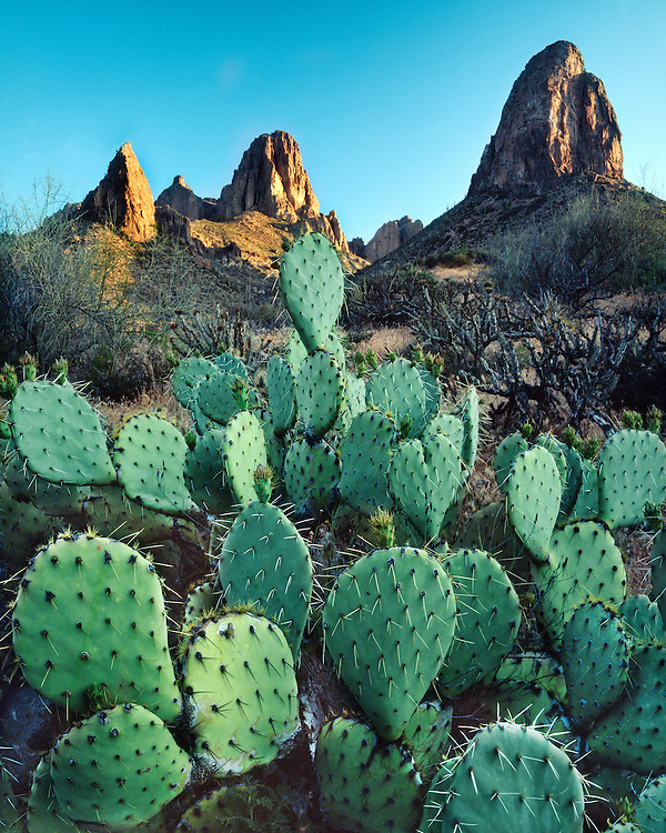 Sunrise light on Pricklypear cacti in the Superstition Mountains; Tonto National Forest, AZ