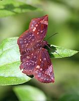 Sickle-winged skipper