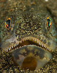 Lizardfish buried in the sand, possibly Trachinocephalus myops, Puri Jati, north Bali, Indonesia, Pacific Ocean