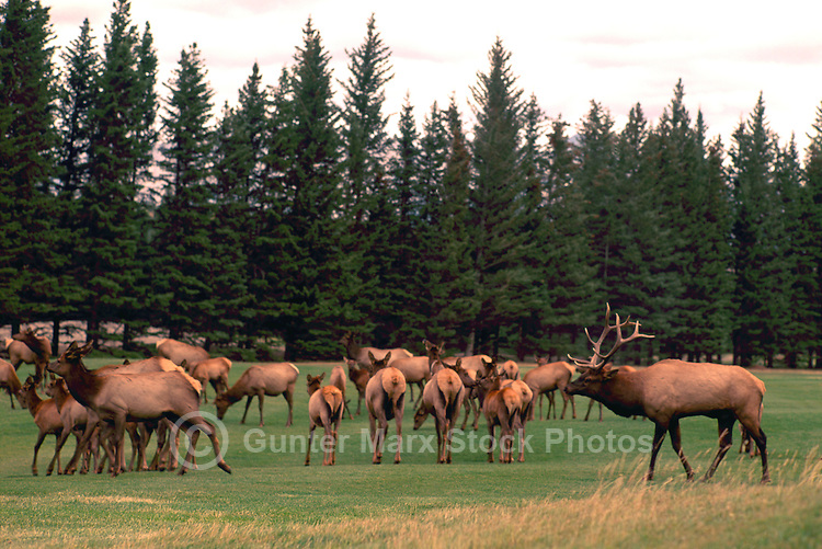 Banff National Park, Canadian Rockies, AB, Alberta, Canada - Bull Elk, Wapiti (Cervus canadensis) rounding up Harem on Banff Springs Golf Course