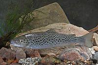 Seeforelle, Blauforelle, Maiforelle, See-Forelle, See - Forelle, Salmo trutta lacustris, Lake trout, Touladi