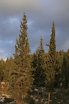 Israel, Jerusalem Mountains, Cypress trees by Road 3866 from Beth Shemesh to Bar Giora