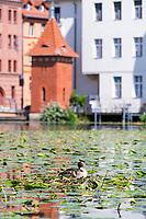 Ente brütet im Nest in der Havel, hinten ein historisches Pegelhäuschen, Brandenburg an der Havel, Brandenburg, Deutschland