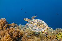 A Hawksbill turtle, Eretmochelys imbricata, an endangered species, cruises over a reef next to a dropoff. Palau, Micronesia, Pacific Ocean