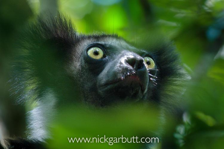 Adult Indri (Indri indri) in forest canopy. Mantadia National Park, Madagascar. IUCN: Endangered.