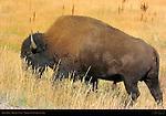 Bison Male, Hayden Valley, Yellowstone National Park, Wyoming