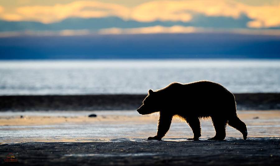 Sub-adult Coastal Brown Bear (Ursus arctos) strolls the coast of The Cook Inlet, Lake Clark National Park.  It needs to be watchful for larger bears in order to survive.