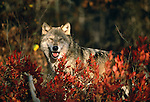 Gray wolf, Minnesota