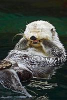 Sea Otter (Enhydra lutris) grooming..